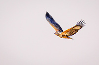 africa, Zambia, South Luangwa National Park,  African hawk-eagle (Aquila spilogaster)