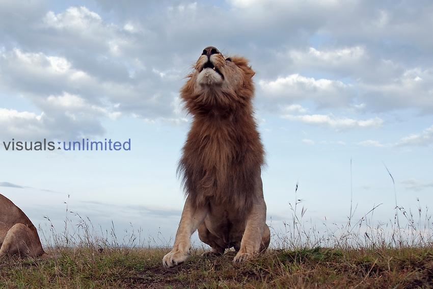 African Lion young adult male roaring (Panthera leo), Masai Mara, Kenya.
