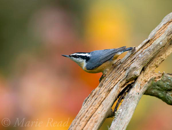 Red-breasted Nuthatch (Sitta canadensis), male in autumn, New York, USA
