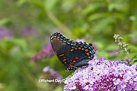 03418-01002 Red-spotted Purple butterfly (Limenitis arthemis) on Butterfly Bush (Buddleia davidii) Marion Co., IL