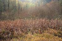 ORCAN_D243 - USA, Oregon, Cascade Range, Wildwood Recreation Site, Sunbeams brighten cattail marsh and surrounding forest in autumn.