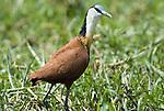 African Jacana, Actophilornis africanus, Lake Langano, Ethiopia, wading in reeds.Africa....