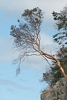 Pacific Madrone (Arbutus menziesii), Orcas Island, San Juan Islands, Washington, US