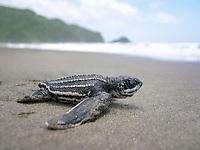 leatherback sea turtle, Dermochelys coriacea, hatchling, crawling to the sea, Dominica, Caribbean Sea, Atlantic Ocean