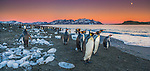 King penguins on the beach at dusk, South Georgia Island, UK