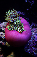 Pink Anemone, Christmas Island, Indian Ocean