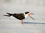 Black Skimmer (Rynchops niger), non-breeding plumage, yawning, Fort De Soto Park, Florida, USA