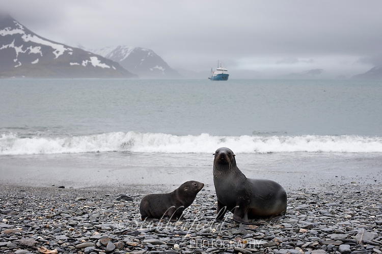 Antarctic Fur Seal (Arctocephalus gazella), mother and pup resting on a rocky beach near Salisbury Plain on South Georgia Island with the Professor Multanovski in the background.