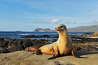 Galápagos Sea Lion (Zalophus wollebaeki) adult, Puerto Egas Bay, Santiago Island, Galapagos Islands, Ecuador, South America.