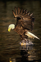 Bald eagle (Haliaeetus leucocephalus) in act of catching a fish.  Pacific Northwest.