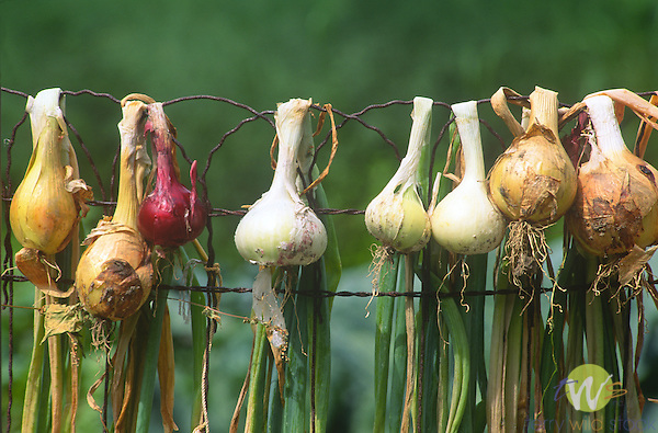 Onions hanging from garden fence
