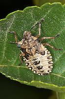 Rotbeinige Baumwanze, Larve, Nymphe, im letzten (5.) Larvenstadium, Pentatoma rufipes, forest bug