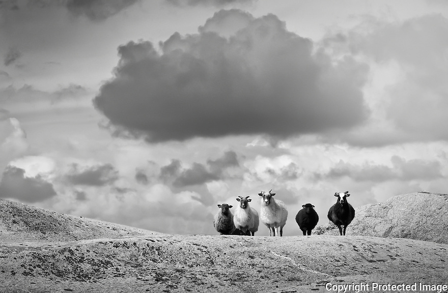 Five sheeps under a cloud looking at the strange phographer