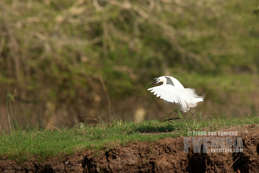 Little Egret (Egretta garzetta). Ndumo Game Reserve, Kwazulu-Natal, South Africa. November 2010.