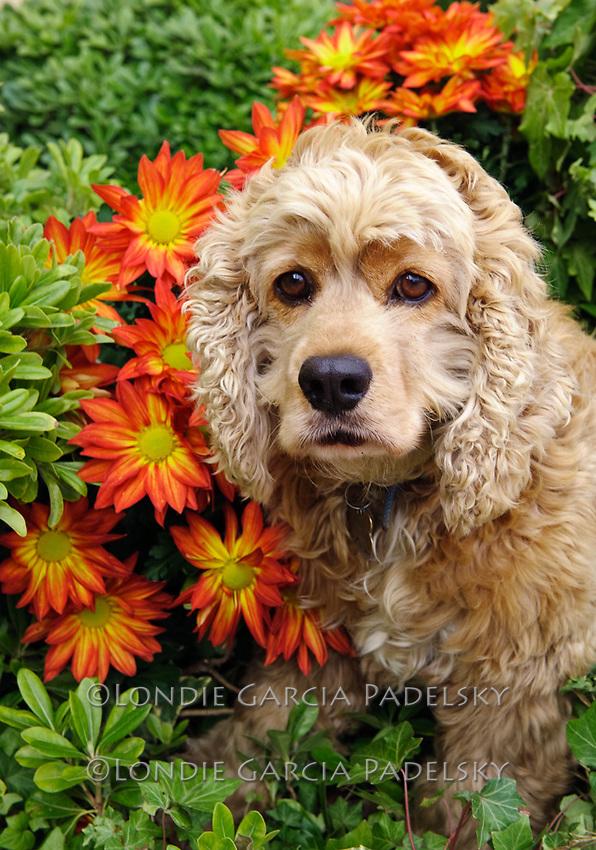 Weasley, Cocker Spaniel Dog in a bed of garden flowers, San Luis Obispo, California