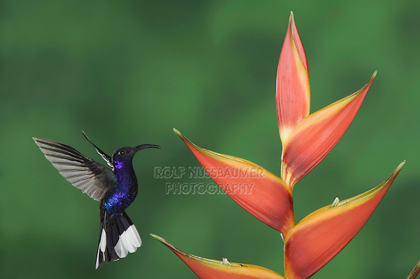 Violet Sabrewing, Campylopterus hemileucurus, male in flight feeding on Heliconia flower, Central Valley, Costa Rica, Central America, December 2006