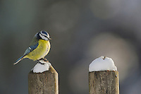 Blue Tit (Parus caeruleus) adult perched on fence, Zug, Switzerland, December 2007