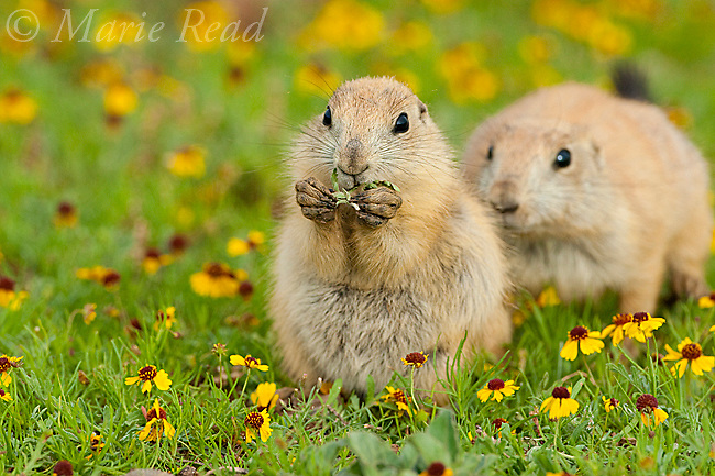 Black-tailed Prairie Dogs (Cynomys ludovicianus), two young animals, Wichita Mountains National Wildlife Refuge, Oklahoma, USA