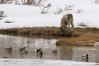 A gray wolf (Canis lupus) from the Blacktail pack in Yellowstone stops to share the water with the mallards.  As long as he appears to be there just for a drink, they will continue to float placidly.<br />