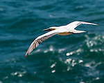This albatross was soaring the winds along the North Shore of Kaua'i Hawaii near the Kilauea Point National Wildlife Refuge.