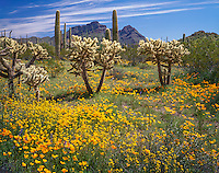 Organ Pipe Cactus National Monument, AZ: Sonoran desert with cholla cactus and field of scattered Mexican gold poppies and Coulter's lupine