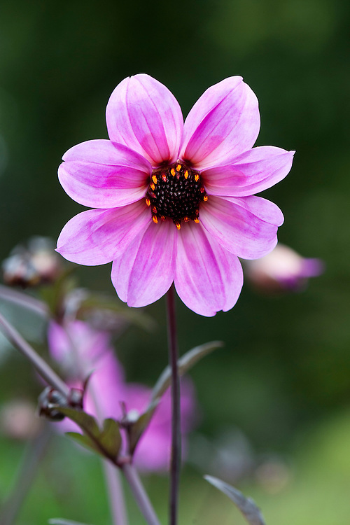 Dahlia 'Shadow Play', mid August.