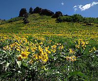 Brown-eyed Susans in bloom in the Highwood Mountains of Montana.