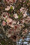 Israel, Shephelah, Almond flowers in Beth Gemal