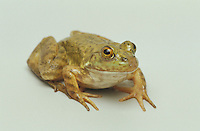 American bullfrog, Rana catesbeiana. Bullfrogs are native to the eastern United States, but have become established throughout the west. Captive frog photographed in studio.