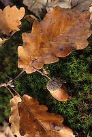 Europe/France/Centre/41/Loir-et-Cher/Forêt de Russy/Environ de Saint-Gervais-la-Forêt : Détail gland et feuille de chêne
