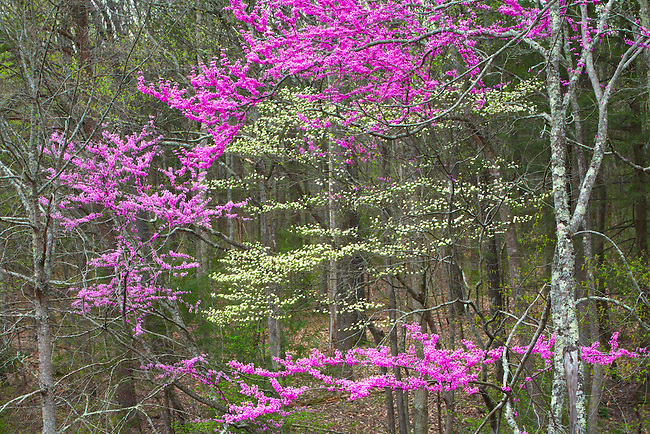 Redbud and dogwood in bloom along Foothills Parkway East