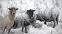 18/11/16<br /> <br /> Sheep brave the freezing conditions.<br /> <br /> Heavy snowfall turns the Peak District near Castleton into a winter wonderland.<br /> All Rights Reserved F Stop Press Ltd. (0)1773 550665   www.fstoppress.com