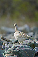 Rock ptarmigan, Brooks Range mountains, Arctic National Wildlife Refuge, Alaska