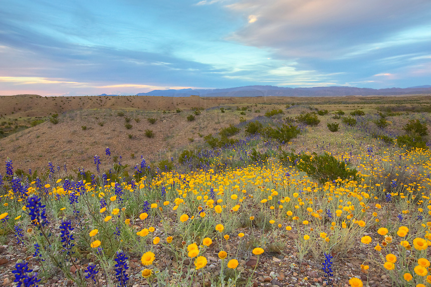 Big Bend Bluebonnets and other Texas wildflowers fill the slopes on the east side of the Chisos Mountains.