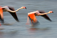 Greater Flamingos (Phoenicopterus roseus) flying over lagoon, motion blur, Camargue, France