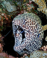 Black-spotted Moray, Gymnothorax favagineus, being serviced by several Bluestreak Cleaner Wrasse, Labroides dimidiatus. Andaman Islands, Andaman Sea, India