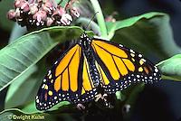 MO01-034e  Monarch Butterfly - adult on milkweed - Danaus plexippus