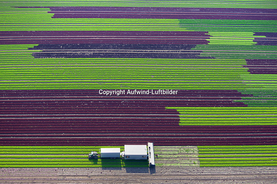 Salaternte: EUROPA, DEUTSCHLAND, SCHLESWIG- HOLSTEIN, BUECHSENSCHINKEN, (GERMANY), 29.08.2017: Traktor Erntemaschine auf Feld zur Ernte von Salat