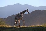 Giraffe and the Santa Rosa Mountains