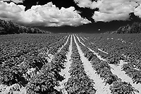 Potatoe field and iron rich red soil<br />Annandale<br />Prince Edward Island<br />Canada