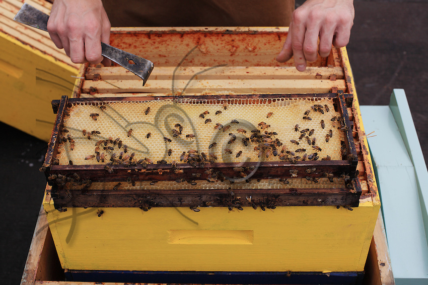 Detail of a smoker and a frame upon the opening of a hive.