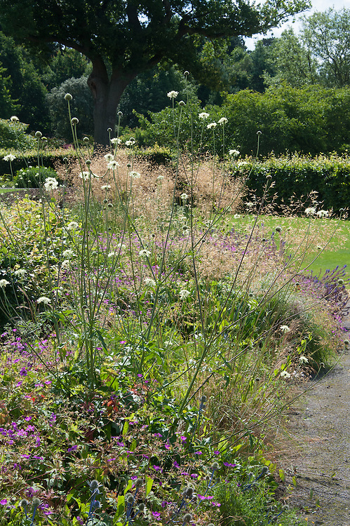 Glasshouse Landscape, RHS Wisley, designed by Tom Stuart-Smith. Giant scabious (Cephalaria gigantea) in the foreground.