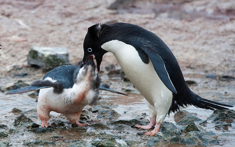Adelie Penguin (Adélie Penguin, Pygoscelis adeliae) feeding a chick, Gourdin Island, Antarctica