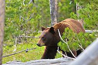 Cinnamon Black Bear, Yellowstone National Park