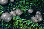 Wolf's Milk Slime Mold (Lycogala epidendrum), Sonoma County, California, USA