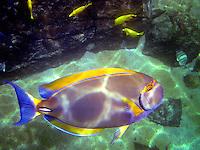 Tang tropical fish. The Big Island