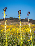 Desert candle flowers, Caulanthus inflatus, Elkhorn Plain, Carrizo Plain National Monument, San Luis Obispo County, Calif.