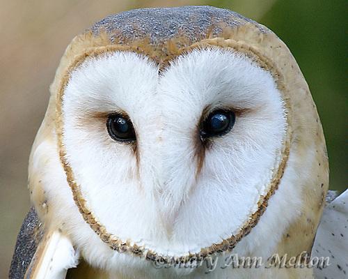 Barn Owl, Tyto alba, captive, Portland Zoo