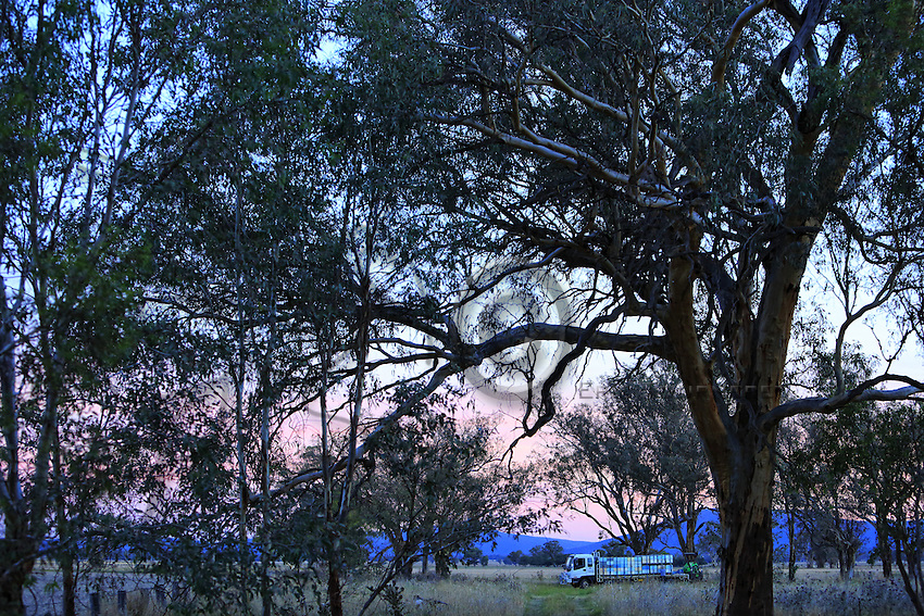 Nightfall at Frank Malfroy's apiary surrounded by eucalyptus. Frank prefers to work alone. He transports about a hundred hives with each journey.///Sur le rucher de Franck Malfroy à la nuit tombante entouré d'eucalyptus. Franck préfère travailler seul. Il déplace une centaine de ruches à chaque voyage.