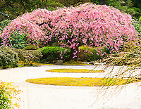 Gift card photo of weeping cherry tree (Shidare Zakura) with pink Spring blossoms in Flat Garden looking across sand of Portland Japanese Garden